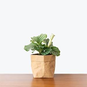 گیاه کالاتیا اوربیفولیا