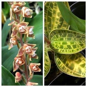 گیاه ارکیده جواهر