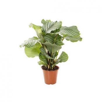 نگهداری گیاه کالاتیا اوربیفولیا