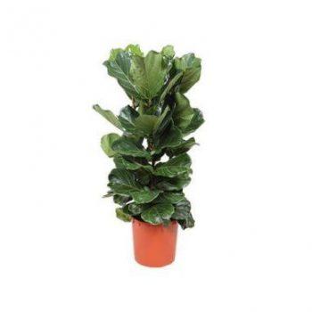 نگهداری گیاه فیکوس لیراتا