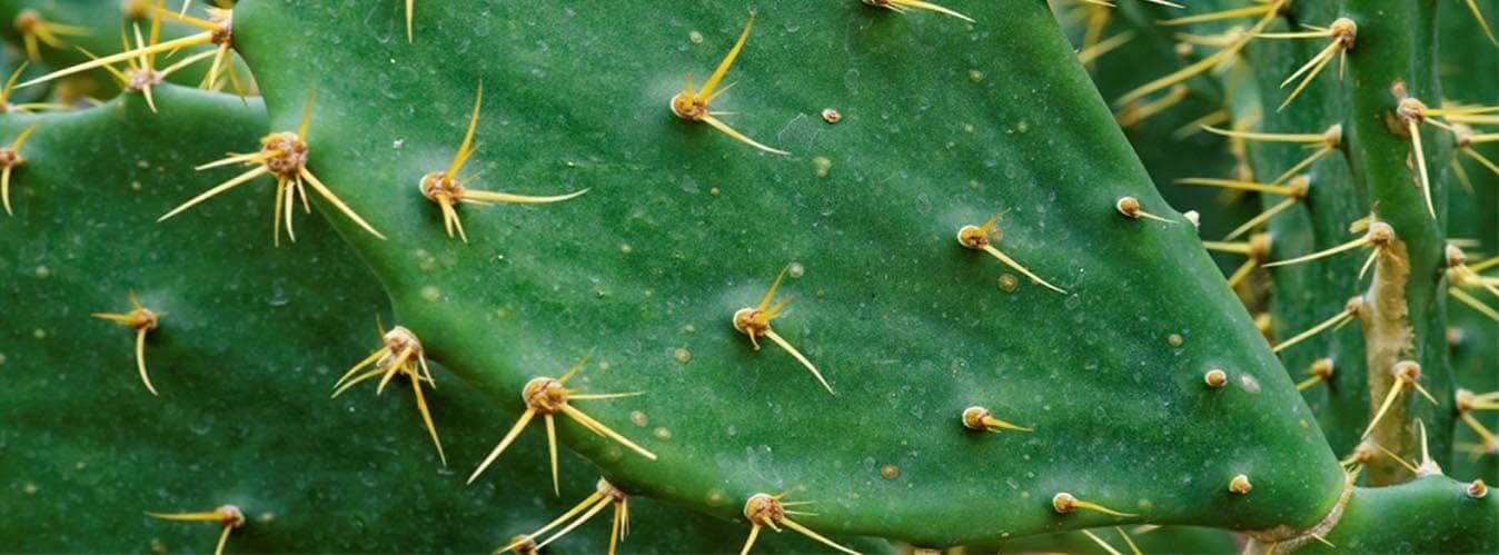 بیماری های کاکتوس