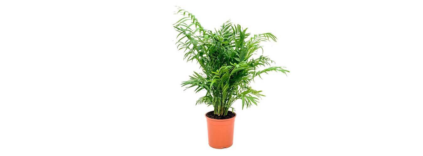 نگهداری گیاه شامادورا سیفریزی