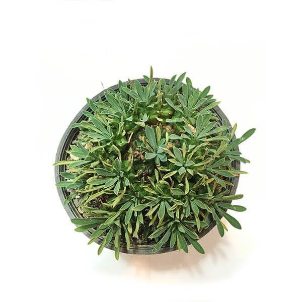 افوربیا آناناسی
