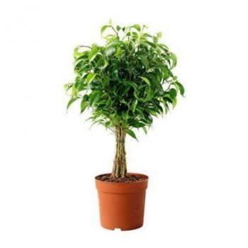 نگهداری گیاه فیکوس بنجامین