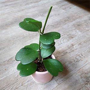 گیاه هویا
