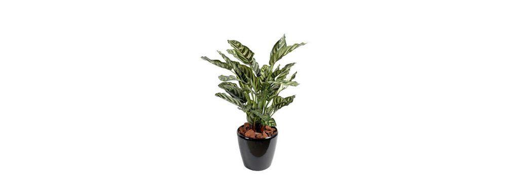 نگهداری گیاه مارانتا ماکویانا