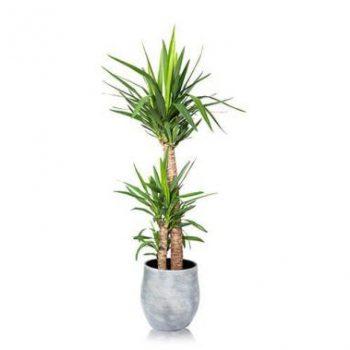 نگهداری گیاه یوکا