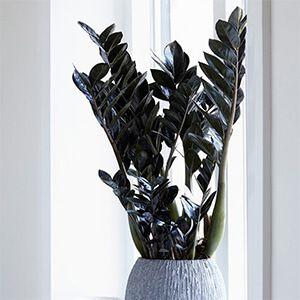 گیاه زاموفیلیا
