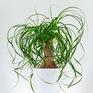گیاه لیندا