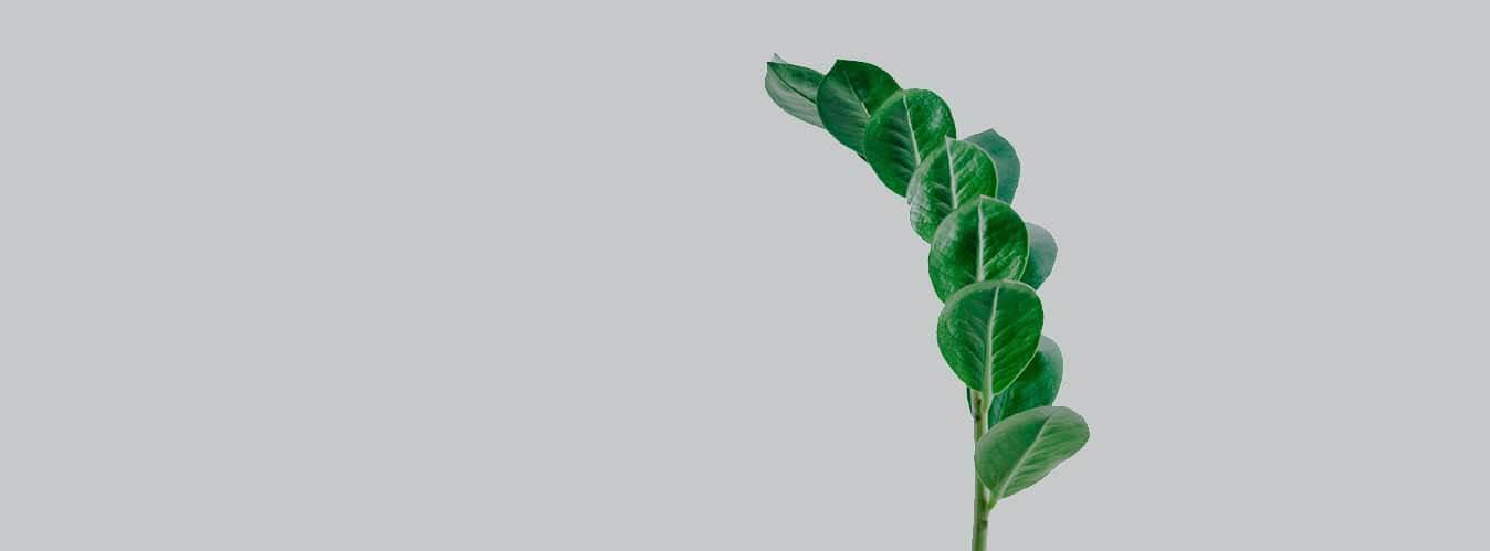 آبیاری گیاه زاموفیلیا