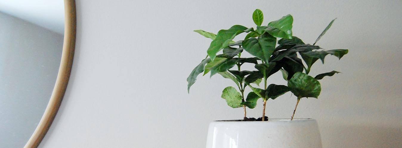 نگهداری گیاه قهوه