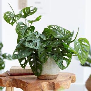 گیاه برگ حصیری