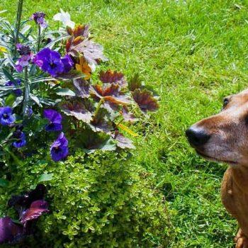 گیاهان سمی برای سگ