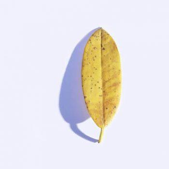 دلایل زرد شدن برگ فیکوس الاستیکا
