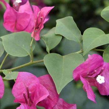 نگهداری گیاه گل کاغذی