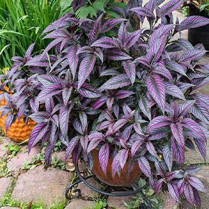 گیاه سپر فارسی