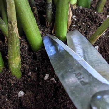 تکثیر گیاه زاموفیلیا